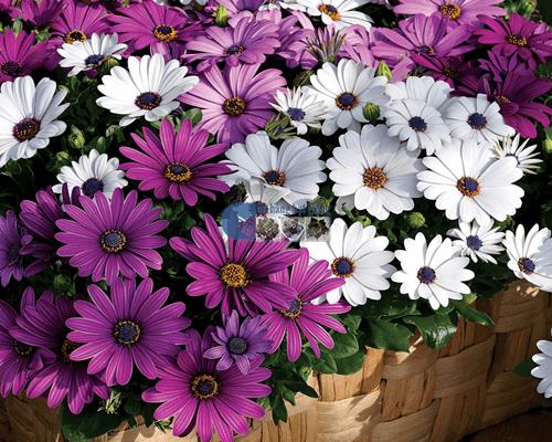 Các loại hoa cúc nhỏ đẹp nhất hiện nay