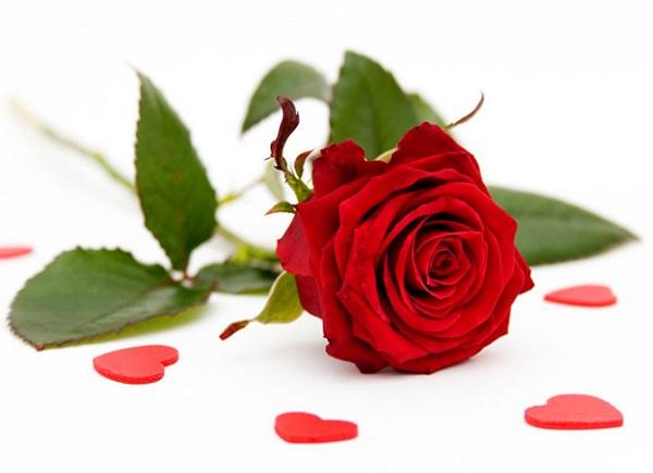 Ý nghĩa của hoa hồng đỏ - nữ hoàng của các loài hoa