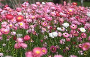 Ý nghĩa hoa bất tử - tình yêu vĩnh cửu