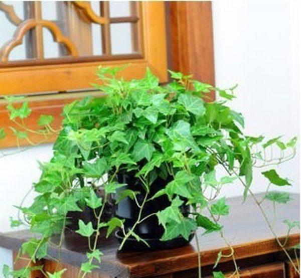 Các loại cây ưa bóng râm thích hợp để trồng trong nhà
