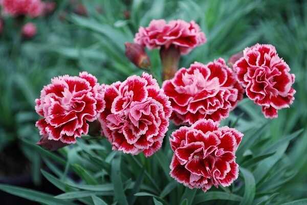 cách trồng hoa cẩm chướng