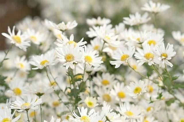 8 loại hoa nhỏ màu trắng - cúc họa mi