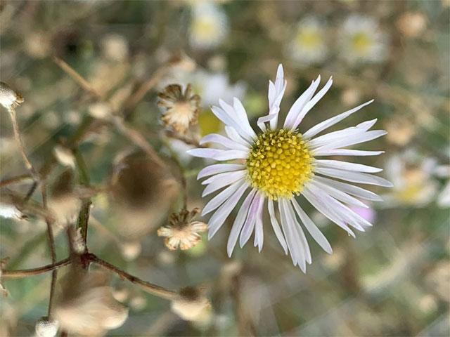 8 loại hoa nhỏ màu trắng - hoa thạch thảo
