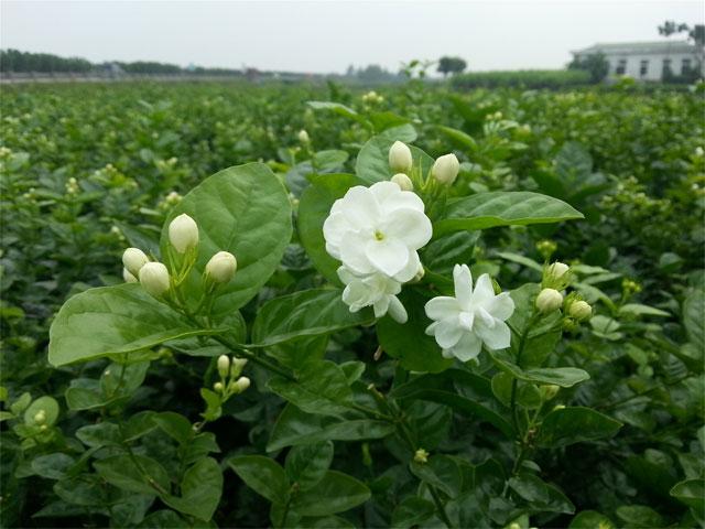 8 loại hoa nhỏ màu trắng - hoa nhài
