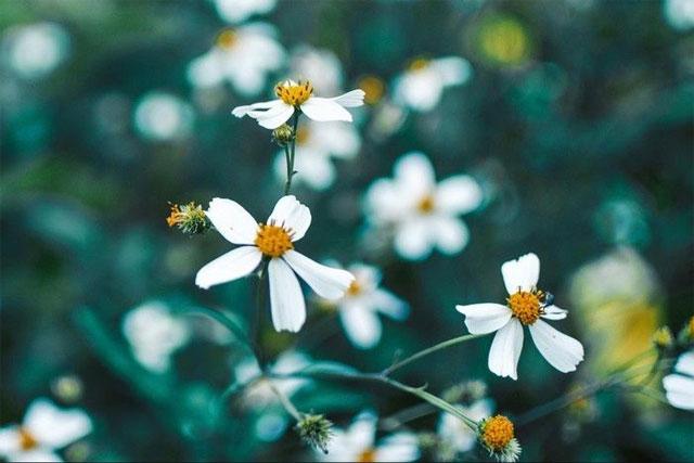8 loại hoa nhỏ màu trắng - hoa xuyến chi