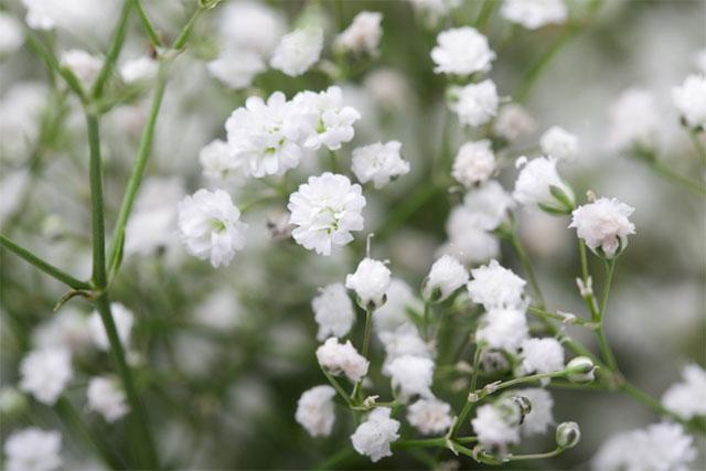 8 loại hoa nhỏ màu trắng dễ thương nhất